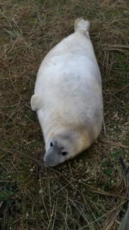 Young Grey seal pup at Donna Nook